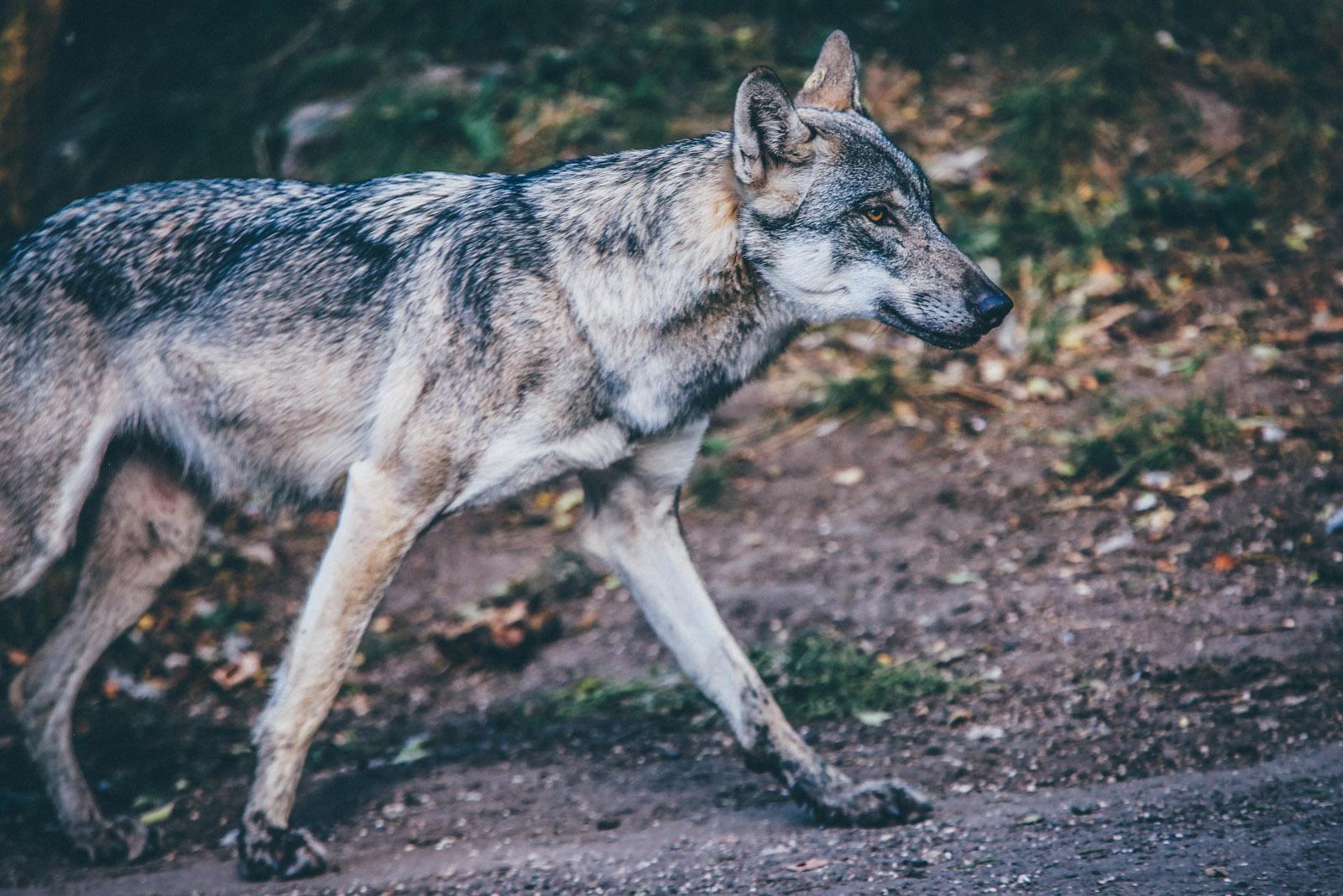WolfThemes.com